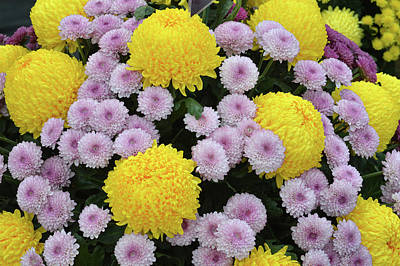 Photograph - Chrysanthemum's by Terence Davis