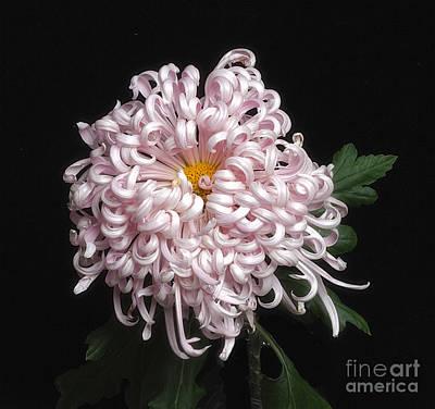 Photograph - Chrysanthenmum 'satin Ribbon' by Ann Jacobson