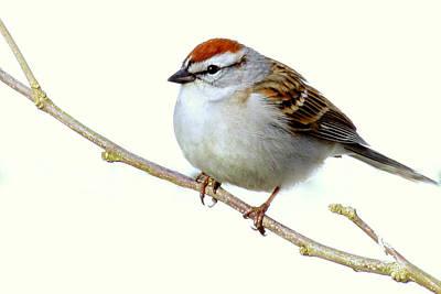 Chubby Sparrow Art Print