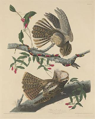 Wings Drawing - Chuck's Will's Widow by Dreyer Wildlife Print Collections