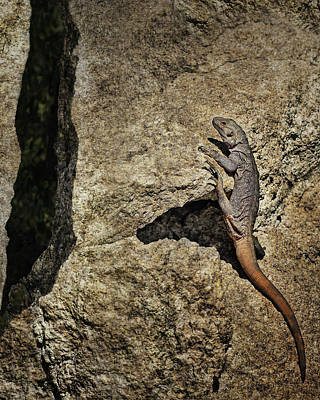 Photograph - Chuckwalla - Crevice by Nikolyn McDonald