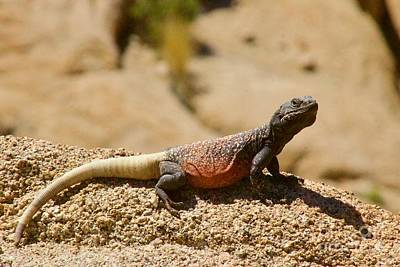 Photograph - Chuckwalla by Sean Griffin