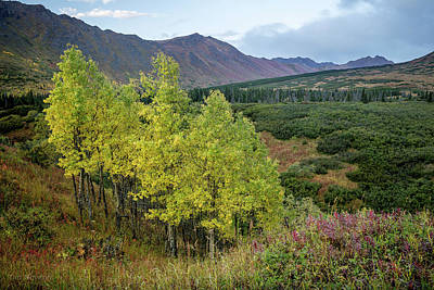 Photograph - Chugach Aspens In Autumn by Tim Newton