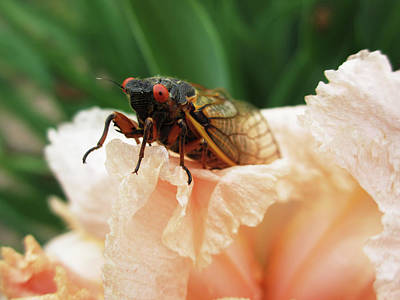 Photograph - Cicada by Cecilia Swatton