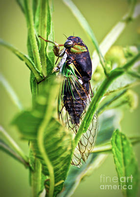 Photograph - Cicada In The Leaves by Kerri Farley