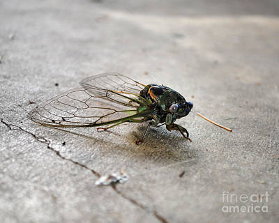 Photograph - Cicada by Jai Johnson