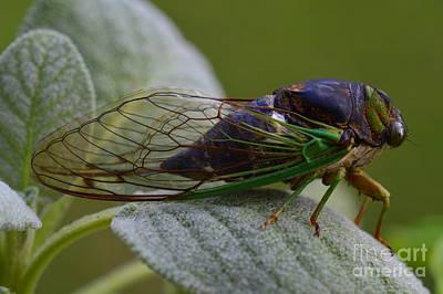 Photograph - Cicada by Lew Davis