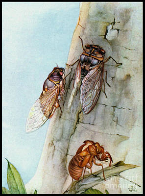 Photograph - Cicada Life Cycle 1921 by Padre Art