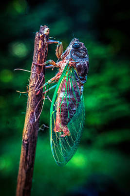 Photograph - Cicada by Lilia D