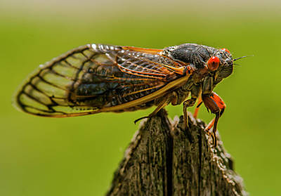 Photograph - Cicada On Fence Post by Jim Moore