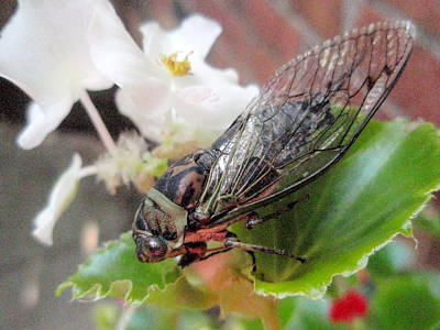 Print featuring the photograph Cicada On Flower by Beth Akerman