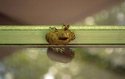 Photograph - Cicada Shell Reflection by Tikvah's Hope