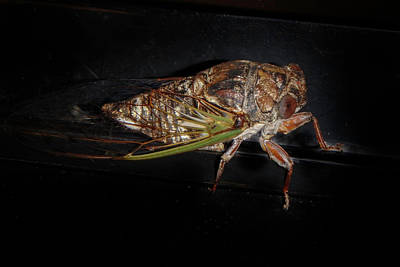 Photograph - Cicadas by Judy Hall-Folde