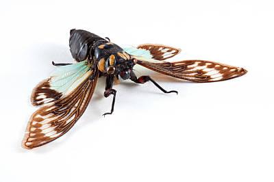 Photograph - Cicadidae Sp Cicada by Nicolas Raymond