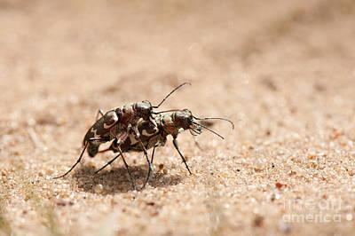 Hybrida Photograph - Cicindela Hybrida Insects Procreating On Sand  by Arletta Cwalina