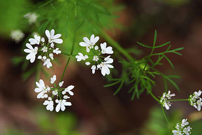 Photograph - Cilantro In Bloom by Diane Macdonald