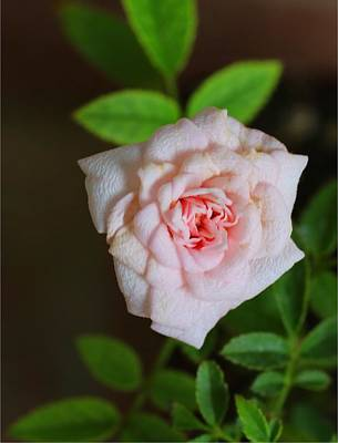 Photograph - Cinderella Rose by Kathryn Meyer