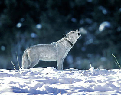 Photograph - Cinderella Wolf 42f by Mark Miller