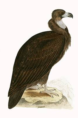 Cinereous Vulture Print by English School