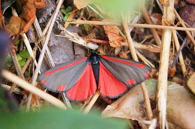 Photograph - Cinnabar Moth by Angi Parks