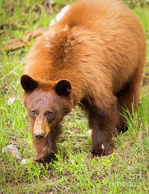 Photograph - Cinnabear by Aaron Whittemore