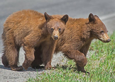 Photograph - Cinnamon Cubs by CR  Courson