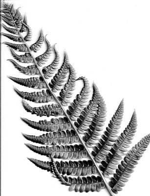 Cinnamon Fern Art Print by Louis Dallara