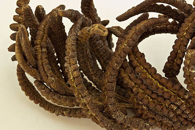 Seed Abstract Photograph - Cinnamon Fern Seeds - Macro  by Sandra Foster