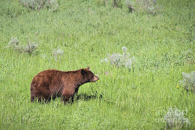 Photograph - Cinnamon Phase Black Bear Eating Daisies by Jemmy Archer