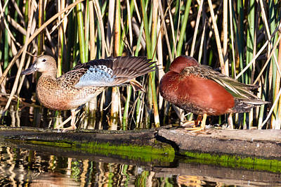 Photograph - Cinnamon Teal Afternoon by Kathleen Bishop