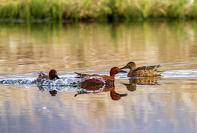 Photograph - Cinnamon Teal - Courtship Dispute by TL Mair