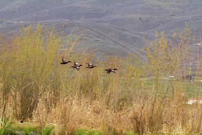 Photograph - Cinnamon Teal - Courtship Flight by TL Mair