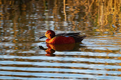 Photograph - Cinnamon Teal In Golden Light by Mark Miller