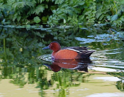 Photograph - Cinnamon Teal In Quiet Waters by Mark Miller