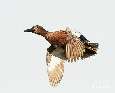 Airplane Paintings - Cinnamon Teal on the Wing by Dennis Hammer