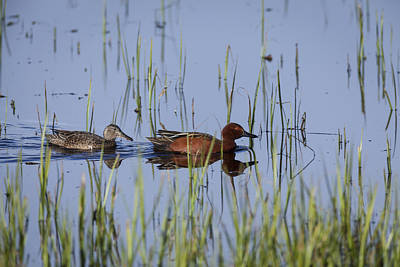 Cinnamon Teal Pair Art Print