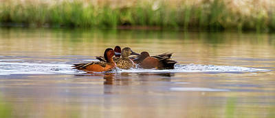 Photograph - Cinnamon Teal - The Suitors by TL Mair