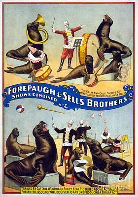Drawing - Circus, Sea Lions, C1899.  by Granger
