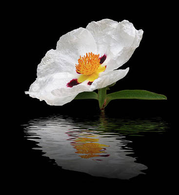Photograph - Cistus Reflections by Gill Billington