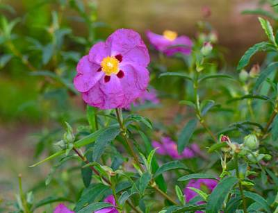 Photograph - Cistus Rock Rose Purple by Lynda Anne Williams