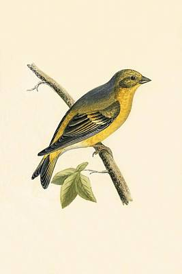 Finch Drawing - Citril Finch by English School