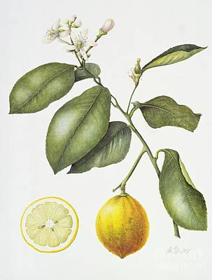 Lemon Painting - Citrus Bergamot by Margaret Ann Eden