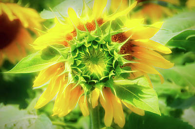 Photograph - City Flare Blooming Sunflower  by Aimee L Maher Photography and Art Visit ALMGallerydotcom