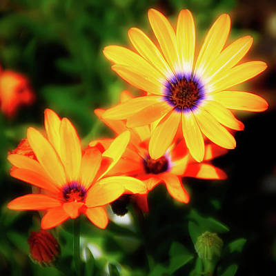 Photograph - City Flare Orange Daisy by Aimee L Maher Photography and Art Visit ALMGallerydotcom