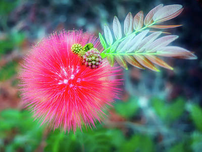 Photograph - City Flare Powder Puff Flower by Aimee L Maher Photography and Art Visit ALMGallerydotcom