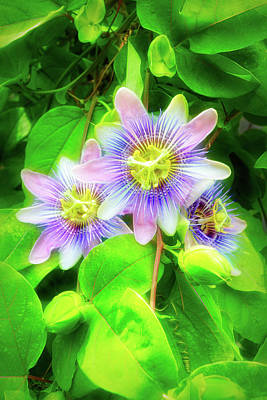 Photograph - City Flare Purple Passion Vine 2 by Aimee L Maher Photography and Art Visit ALMGallerydotcom