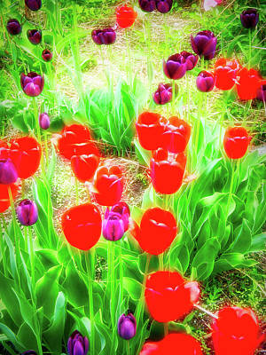 Photograph - City Flare Red And Purple Tulips by Aimee L Maher Photography and Art Visit ALMGallerydotcom