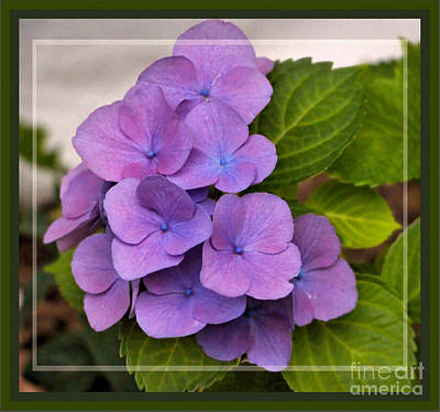 Photograph - Cityline Vienna Hydrangea, Framed by Sandra Huston