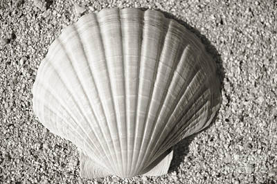 Photograph - Clam Fan by Mary Van de Ven - Printscapes