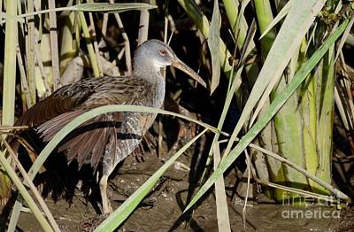 Photograph - Clapper Rail  by Kathy Gibbons